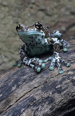 Photograph - Blue Tree Frog by Jaroslaw Blaminsky