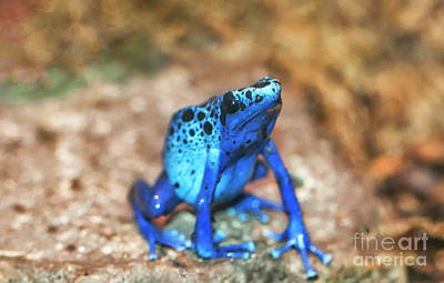 Photograph - Blue Tree Frog by Ruth Jolly