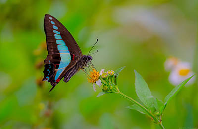 Photograph - Blue Triangle Butterfly On Okuma by Jeff at JSJ Photography