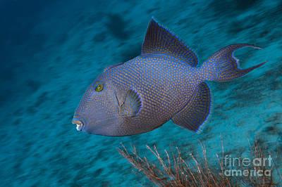 Triggerfish Photograph - Blue Triggerfish by Reinhard Dirscherl