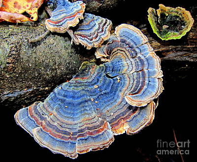 Blue Turkeytail Fungi Art Print