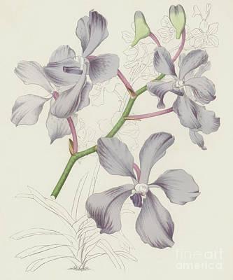 Nature Study Painting - Blue Vanda, Vanda Coerulea by English School