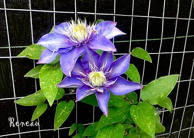 Photograph - Blue Violet Clematis by Sadie Reneau