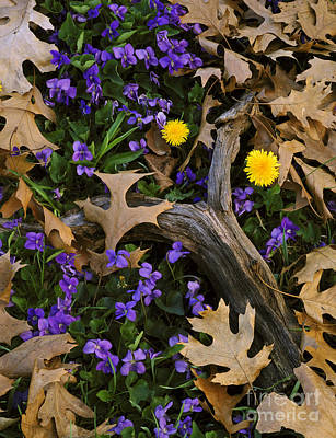Woodland Violet Photograph - Blue Violets And Dandelions by Willard Clay