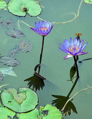 Photograph - Blue Water Lilies by Joel Gilgoff