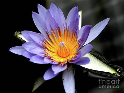 Photograph - Blue Water Lily Pond Flower . 7d5726 by Wingsdomain Art and Photography