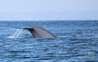 Photograph - Blue Whale Tail Flop by Suzanne Luft
