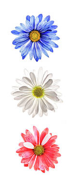 Photograph - Blue White And Red Daisies On White by Vishwanath Bhat