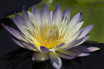 Blue-white Water Lily Original