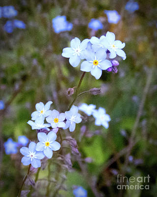 Photograph - Blue Wild Flower by Cheryl Del Toro