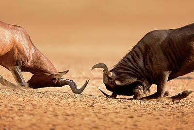 Connect Photograph - Blue Wildebeest Sparring With Red Hartebeest by Johan Swanepoel