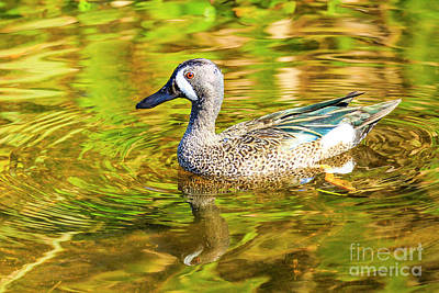 Photograph - Blue Winged Teal 5 by Ben Graham