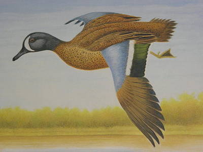 Stamps Drawing - Blue-winged Teal by Alan Suliber