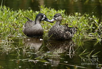 Photograph - Blue-winged Teal Couple by Myrna Bradshaw