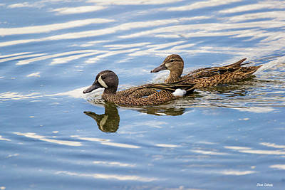 Photograph - Blue-winged Teal by Fran Gallogly
