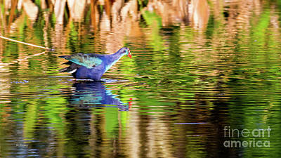 Photograph - Blue Winged Teal by Rene Triay Photography