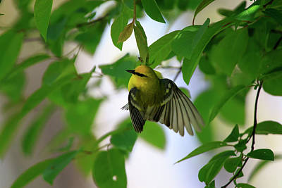 Photograph - Blue-winged Warbler 3 by Gary Hall