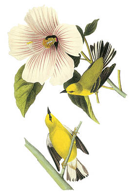 Warbler Painting - Blue-winged Warbler by John James Audubon