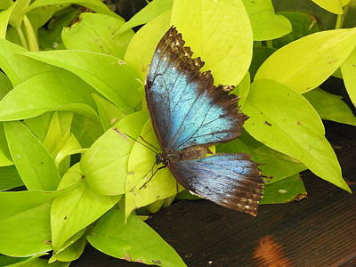 Photograph - Blue Wings by Betty-Anne McDonald