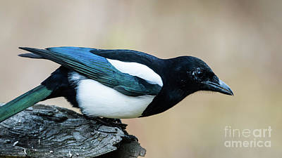 Magpie Photograph - Blue Wings by Torbjorn Swenelius