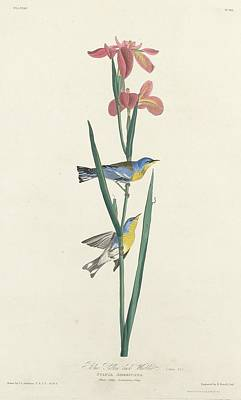 Wings Drawing - Blue Yellow-backed Warbler by Dreyer Wildlife Print Collections
