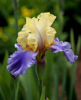 Botanic Photograph - Blue Yellow Iris Germanica by Rona Black