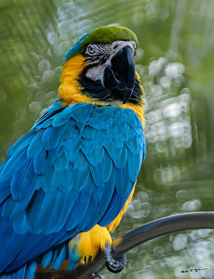Mark Myhaver Royalty Free Images - Blue Yellow Macaw No.2 Royalty-Free Image by Mark Myhaver