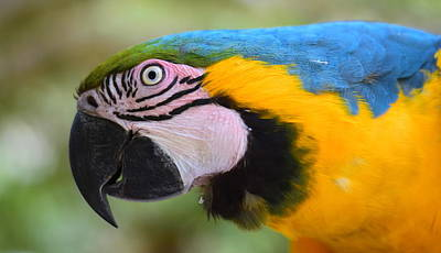Birds Photograph - Blue-yellow Parrot by HQ Photo