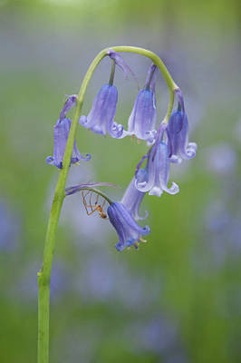 Photograph - Bluebell And Spider by Helen Northcott