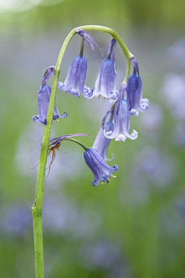 Photograph - Bluebell And Spider II by Helen Northcott