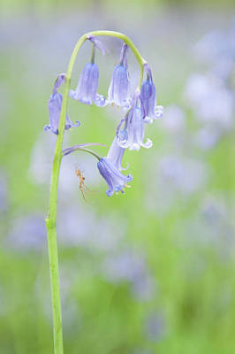 Photograph - Bluebell And Spider IIi by Helen Northcott