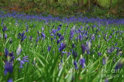 Photograph - Bluebell Blanket by Richard Gibb