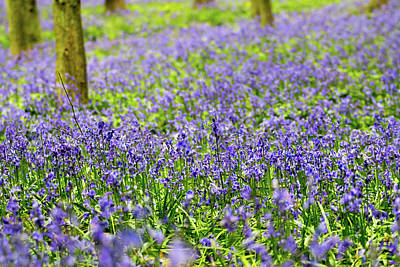 Photograph - Bluebell Carpet by Paul Ambridge
