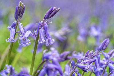 Photograph - Bluebell Closeup by Framing Places