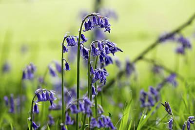 Photograph - Bluebell Closeup by Paul Ambridge
