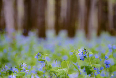 Photograph - Bluebell Field by Tracy Winter
