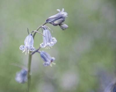 Photograph - Bluebell Flower Iv by Helen Northcott