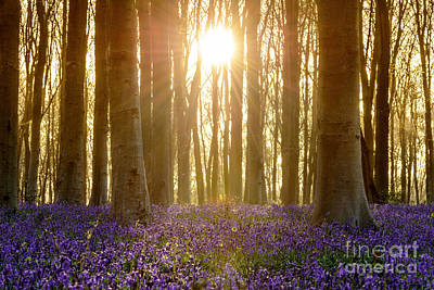 Contre-jour Photograph - Bluebell Glade by Richard Thomas