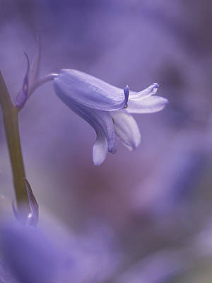 Photograph - Bluebell by Inge Riis McDonald