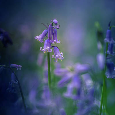 Photograph - Bluebell by Kelvin Trundle