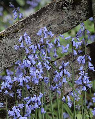 Photograph - Bluebell Moment by I'ina Van Lawick