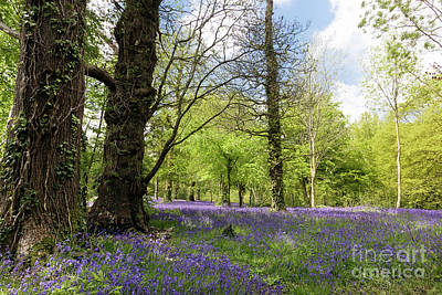 Photograph - Bluebell Season by Terri Waters