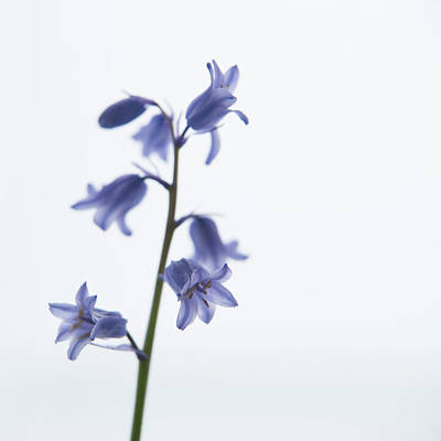 Photograph - Bluebell Stem Iv by Helen Northcott