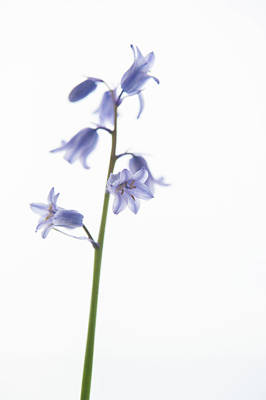 Photograph - Bluebell Stem Viii by Helen Northcott