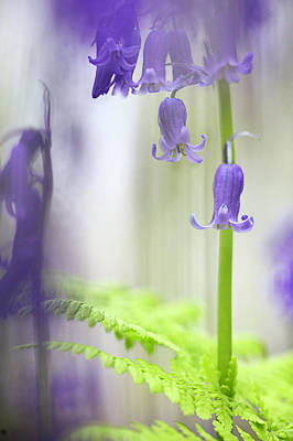 Photograph - Bluebell Wild Flower Magic by Dirk Ercken