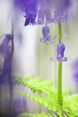 Photograph - Bluebell Wild Flower Magic by Dirk Ercken