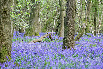 Bluebell Wood - Hyacinthoides Non-scripta - Surrey , England Art Print