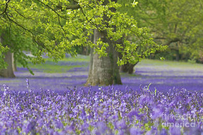 Photograph - Bluebell Wood by Terri Waters