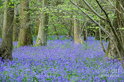 Photograph - Bluebell Woodland Hyacinthoides Non-scripta, Surrey , England by Paul Farnfield
