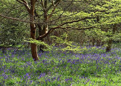 Photograph - Bluebell Woods 1 by Shirley Mitchell